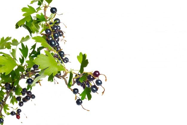 Beeren schwarze johannisbeere mit grünem blatt. frisches obst, lokalisiert auf weißem hintergrund.