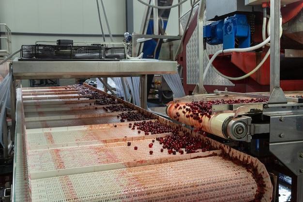 Beerenernte fabrik. das förderband transportiert die verarbeiteten und für die konservierung vorbereiteten kirschen.