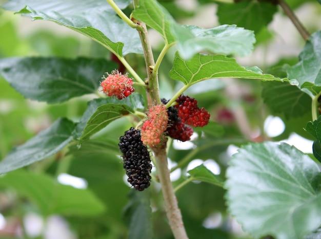 Beerenobst in der natur, maulbeerzweig