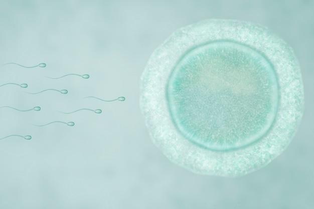 Befruchtung des menschlichen ovulums mit spermien