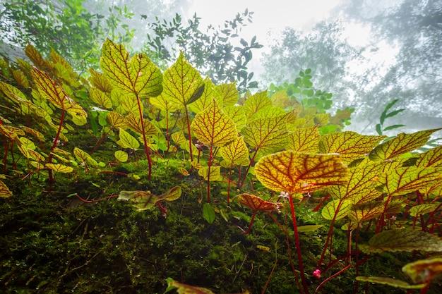 Begonie treibt auf dem felsen in der flachen tiefe des regenwaldes blätter