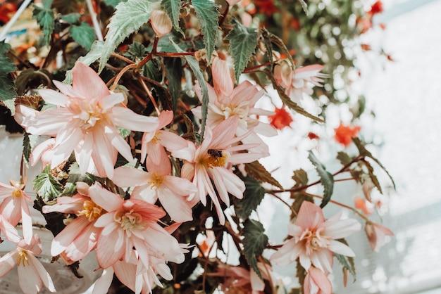 Begonienblumen, die zu hause in einem hängenden topf gewachsen sind