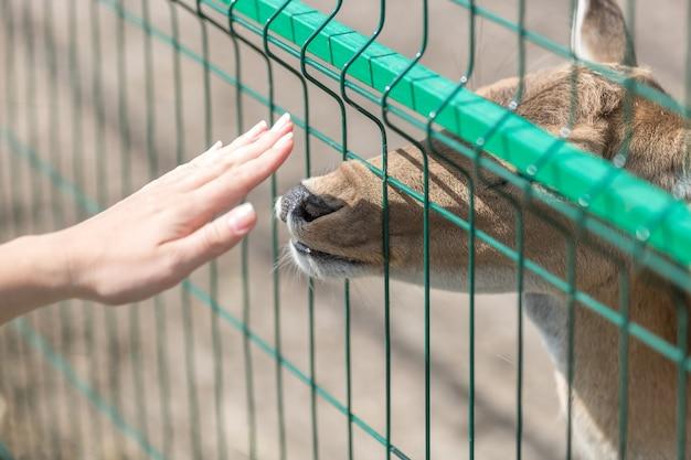 Begriffsbild des kontakts zwischen mensch und tier. nahaufnahme einer weiblichen hand, die die hirschkuh durch den zaun im zoo berührt