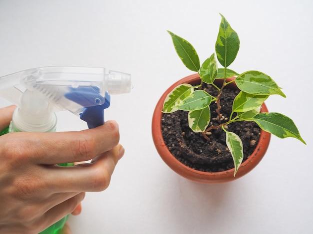 Behandlung von pflanzen gegen parasiten. hydratation der blätter von ficus benjamin spray.