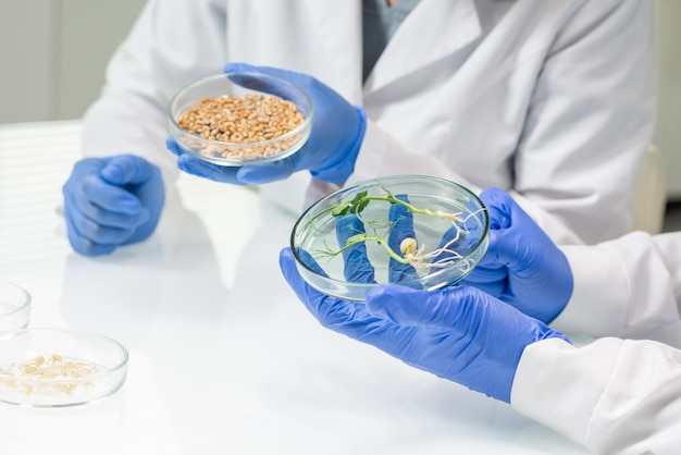 Behandschuhte hände von zwei zeitgenössischen labormitarbeitern oder forschern in weißkitteln, die am tisch sitzen und sojakörner und im labor gezüchtete sprossen studieren