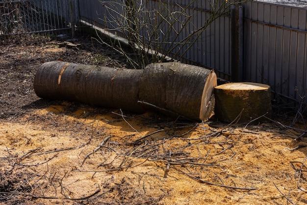 Bei der brennholzernte für den winter wurde ein alter kirschbaum für brennholz gefällt
