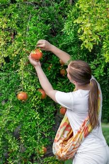Bei der ernte in einem warmen herbst sammelt ein mädchen abends reife granatapfelfrüchte von einem baum...