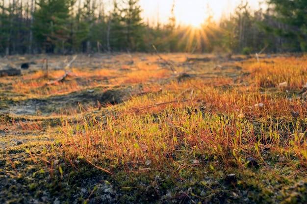 Bei sonnenuntergang im wald im frühjahr.