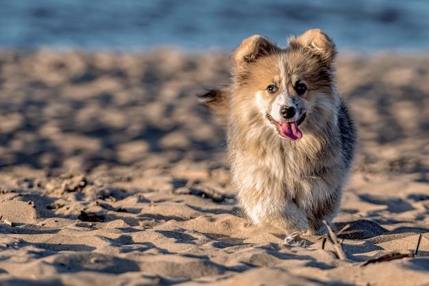 Bei sonnenuntergang läuft der junge walisische corgi flauschig um den strand und spielt im sand