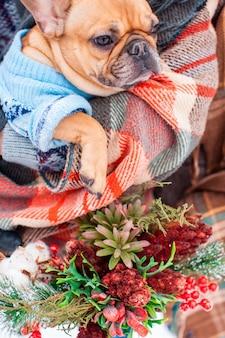 Beige französische bulldogge mit pullover und warmem plaid, nahaufnahme