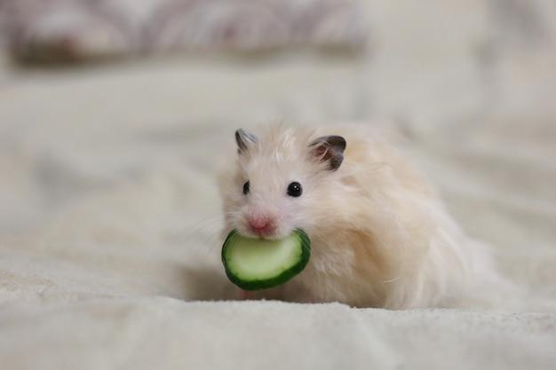Beiger hamster mit einer gurke im mund