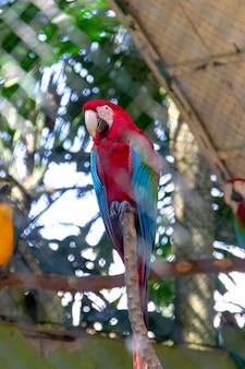 Bekannter vogel mit rotem und grünem keilschwanzsittich in brasilien