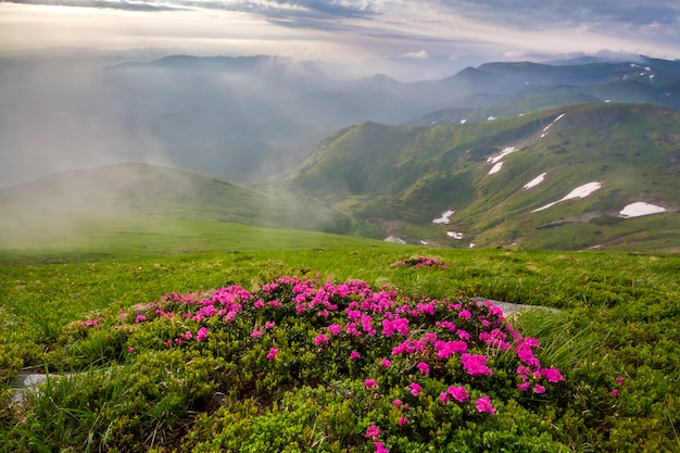 Beleuchtet durch sonne berghang mit blühenden rosa blumen auf nebligen bergen mit grünem gras und schneeflecken unter strahlend blauem bewölktem himmel. ökologische probleme und schönheit des naturkonzepts.