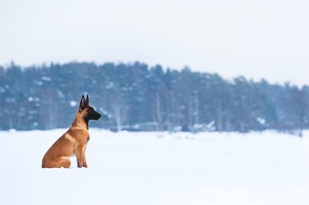 Belgischer schäferhund im winter. es schneit. winterwald
