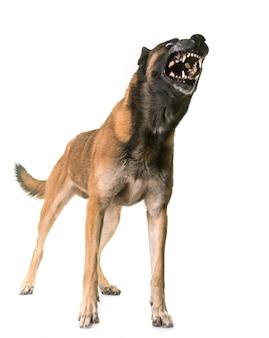 Belgischer schäferhund malinois