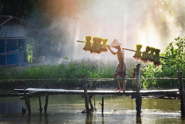 Bemannen sie den thailändischen holdingreisbaby des landwirts auf der schulter, die auf holzbrückenbetriebsackerland asien geht
