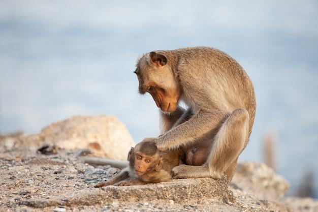 Bemuttern sie den affen, der um ihren babyaffen am strand sich kümmert