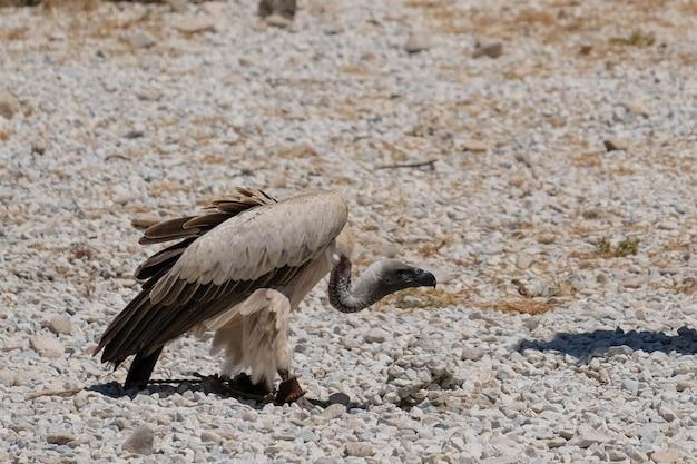 Benalmadena, andalusien/spanien - 7. juli: juvenile andenkondor (vultur gryphus) am berg calamorro in der nähe von benalmadena in spanien am 7. juli 2017