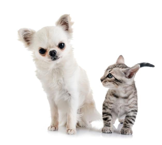 Bengal kätzchen und chihuahua
