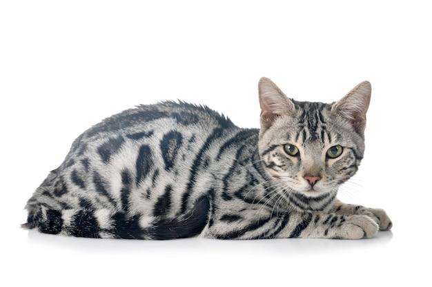 Bengal katze lokalisiert auf weiß