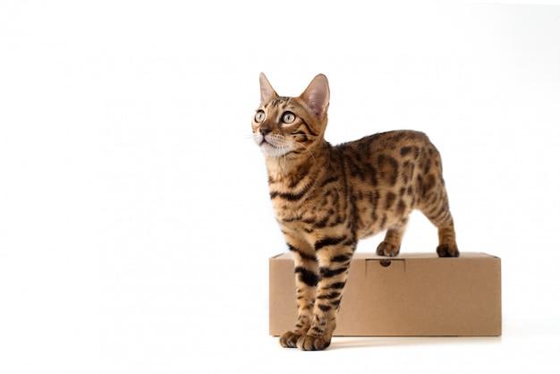Bengal-katze steht auf einer braunen kraftkartonbox für pakete auf einem weiß lokalisierten hintergrund