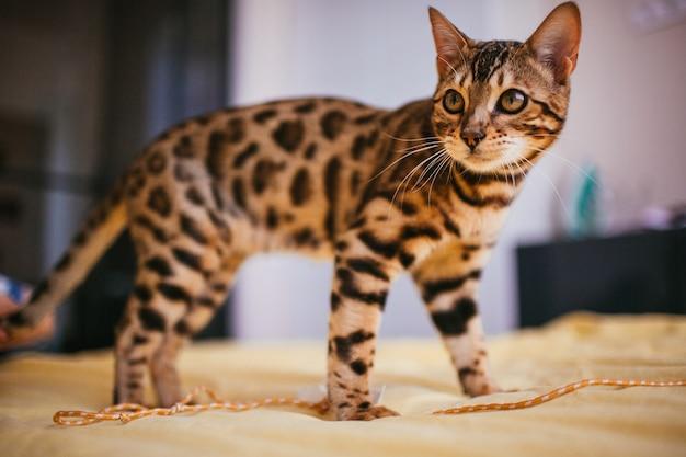 Bengal-katze steht auf gelbem bett
