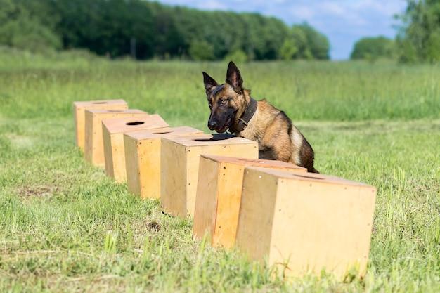Bengal sheepdog schnüffelt an einer reihe von containern auf der suche nach einem mit einem versteckten objekt