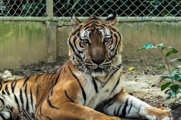 Bengal tige im käfig