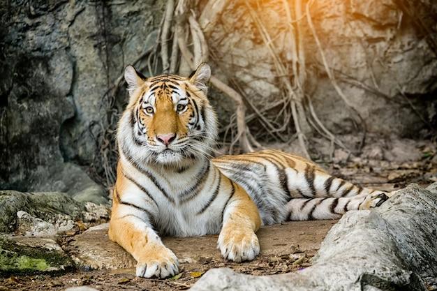 Bengal-tiger, der im wald stillsteht