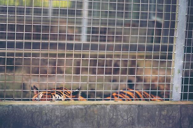 Bengal-tiger im käfig, wild lebende tiere im käfigkonzept