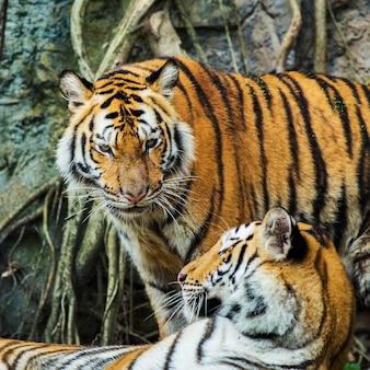 Bengal-tiger im thailand