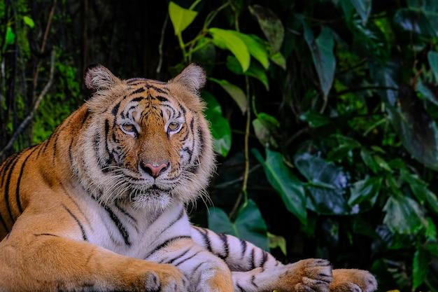 Bengal-tiger im waldshowkopf und -beinen