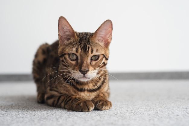 Bengalische katze, die mit einem grinsenden blick liegt