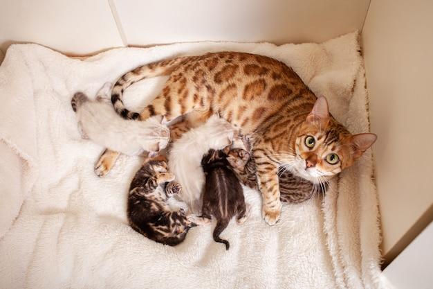 Bengalische leopardenkatze liegt auf einem beigen plaid mit kleinen kätzchen
