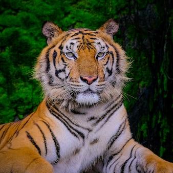 Bengalischer tiger, der nahe bei grünem moos innerhalb des dschungelzoos stillsteht.
