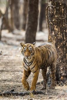 Bengalischer tiger geht zwischen den bäumen im ranthambore national park. indien.