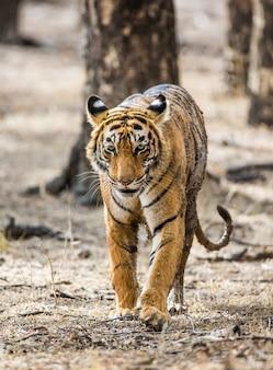 Bengalischer tiger im ranthambore-nationalpark. indien.