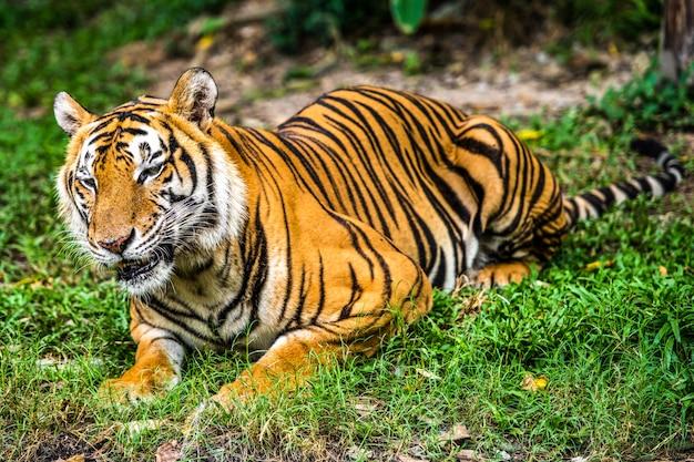 Bengalischer tiger im wald