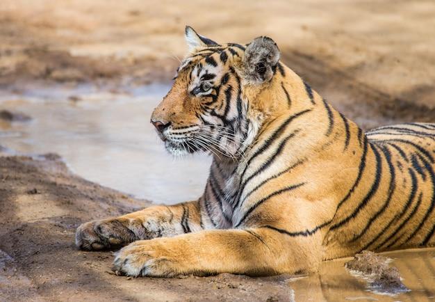 Bengalischer tiger liegt auf der straße. ranthambore nationalpark. indien.