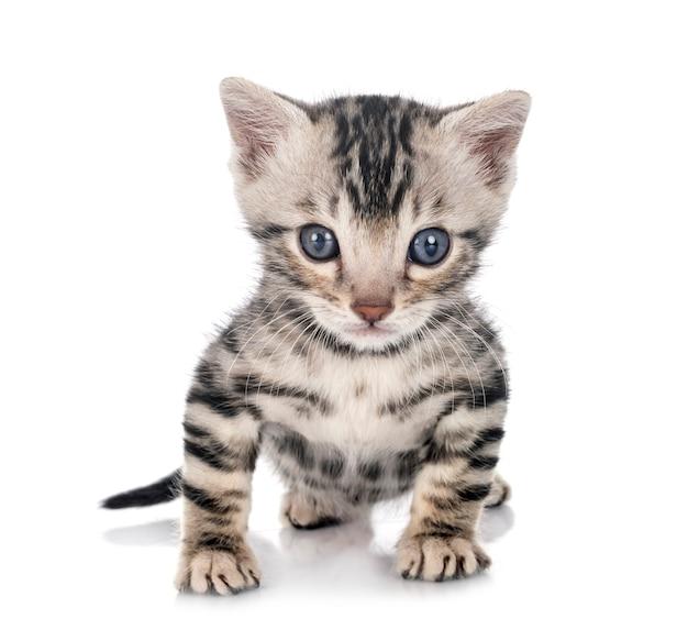 Bengalisches kätzchen munchkin