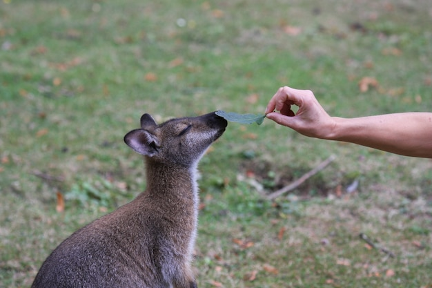 Bennett wallaby, känguru in einem zoo in frankreich
