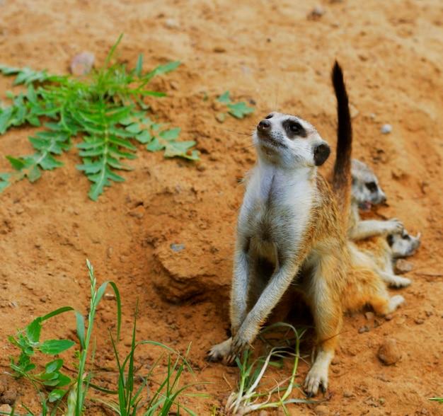 Beobachten sie kleine wilde erdmännchen