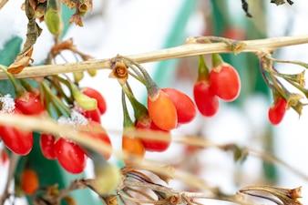 Berberitze, Berberis vulgaris Zweig, Beeren von Berberis thunbergii