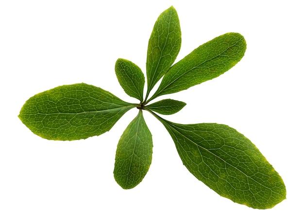 Berberitzeblatt lokalisiert auf einem weißen hintergrund mit einem beschneidungspfad. ein bündel grüne blätter.