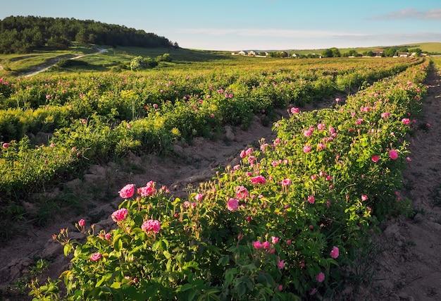 Bereich der blühenden rosa damastrosen bei bakhchisaray, crimea