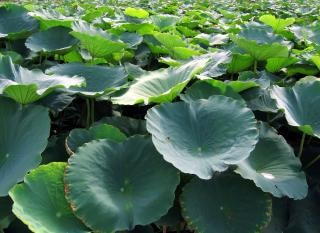 Bereich der lotusblumen
