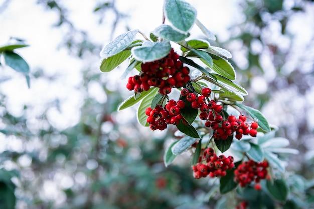 Bereifter zweig mit roten reifen früchten pyracantha-coccinea.