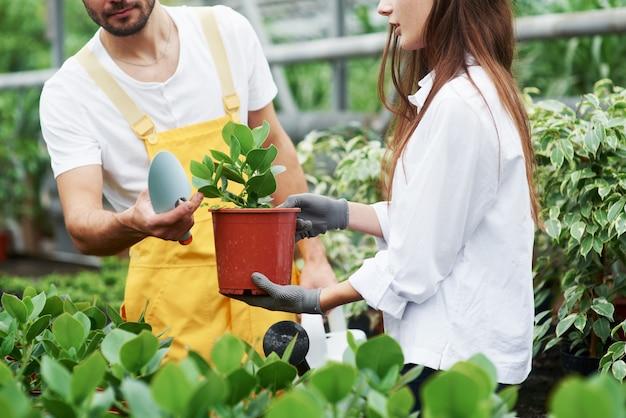 Bereit zum umpflanzen. ein paar nette gartenarbeiter in arbeitskleidung, die sich um die pflanze im topf im gewächshaus kümmern.