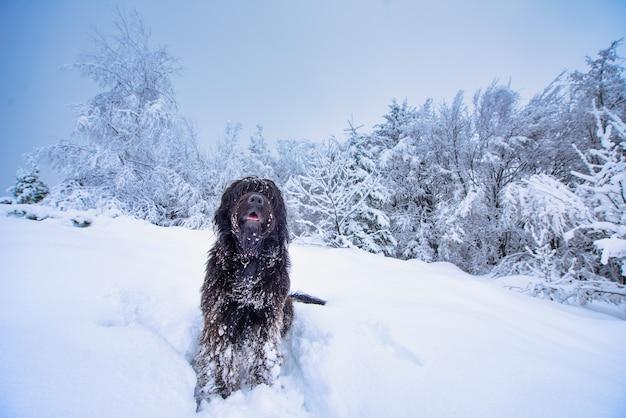 Bergamasco schäferhund mitten in viel schnee in den bergen