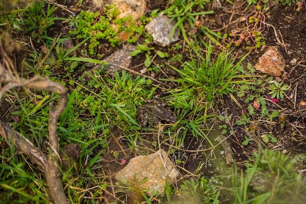 Bergfrosch in capcir, pyrenäen, frankreich